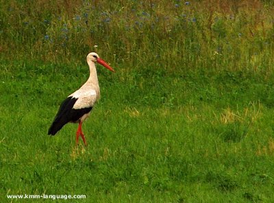 Stork meadow Poland